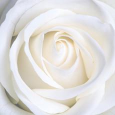 绽放的白玫瑰<strong>花蕊</strong>