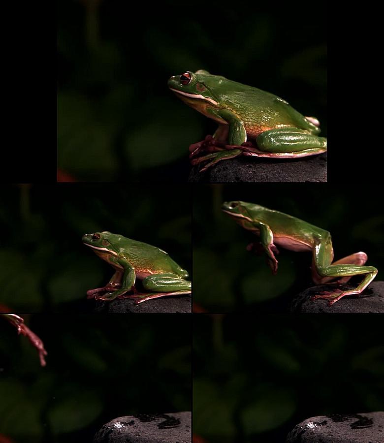实拍青蛙跳动态视频素材模板 高清格式下载 视频7.92MB 自然世界 实