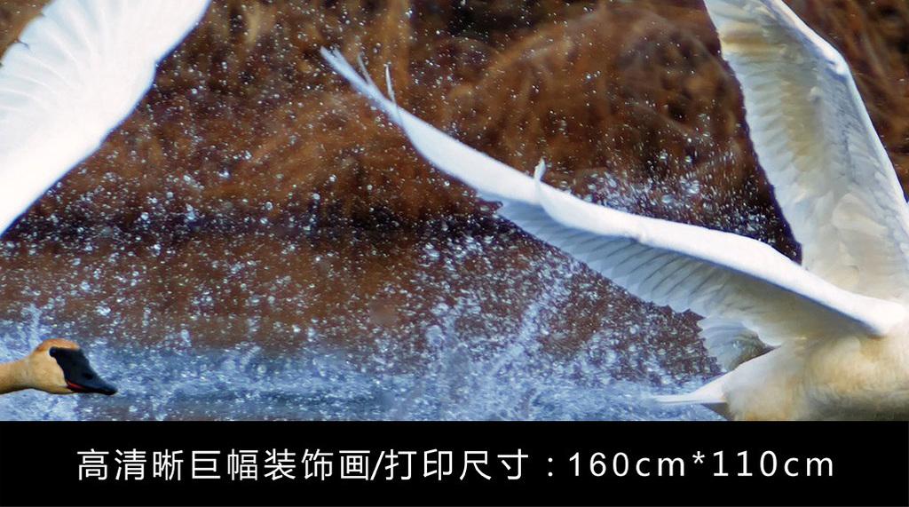 唯美湖面展翅飞翔的两只白天鹅动物风景摄影图片