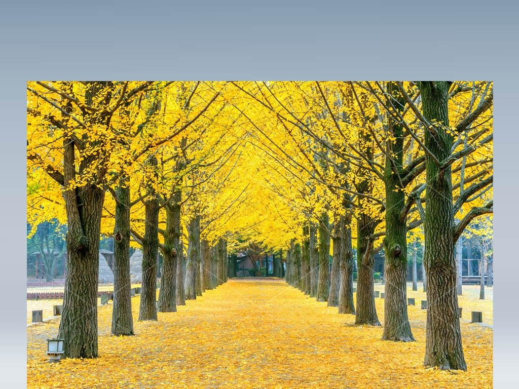 秋叶秋天枫树枫叶林荫道背景落叶风景挂图