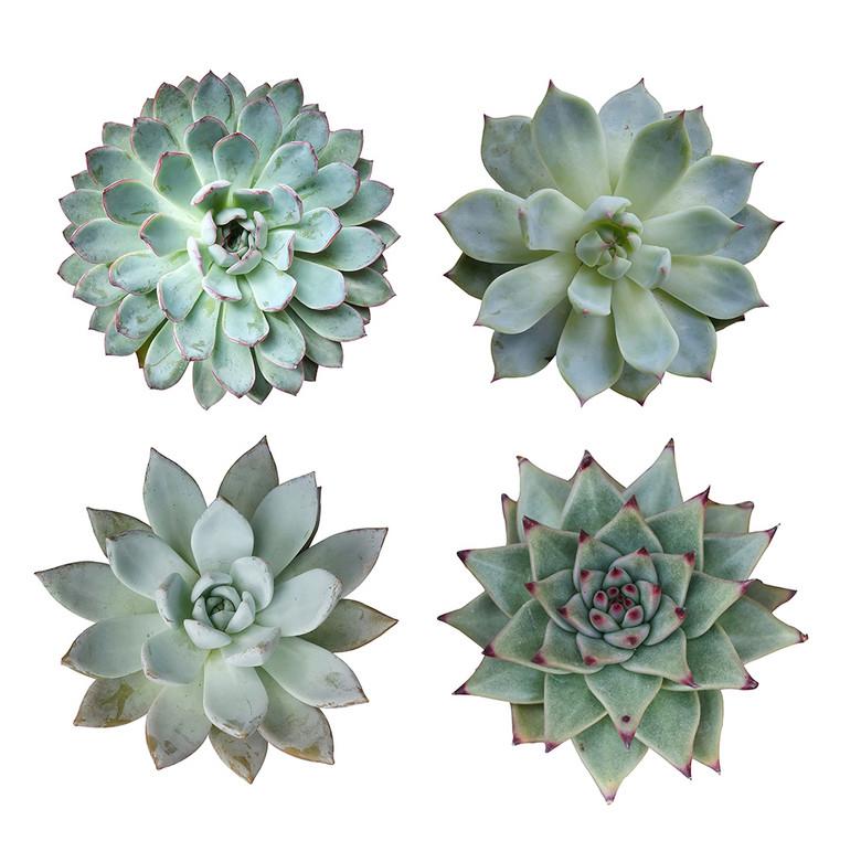 计元素多肉植物白底白色背景图片下载素材 花卉图片