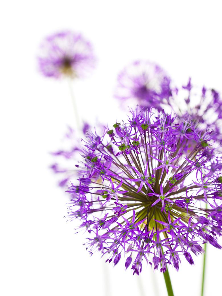 蒲公英紫色浪漫白底白色背景图片素材 模板下载 4.13MB 花卉大全 图片