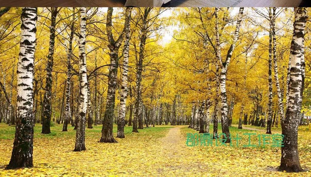 巨幅风景森林白桦树背景墙壁纸
