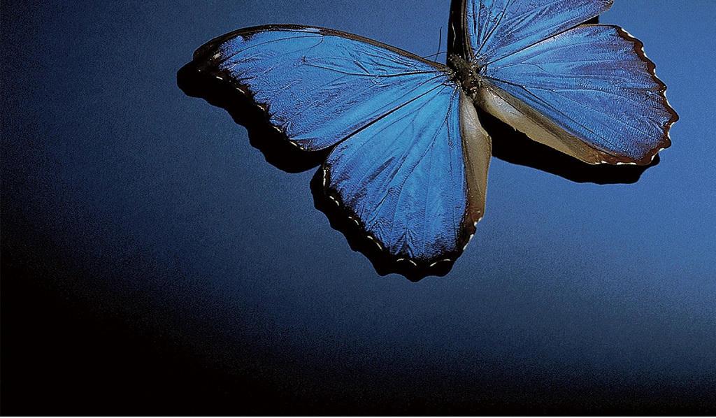 高清摄影蓝色立体3d蝴蝶壁画