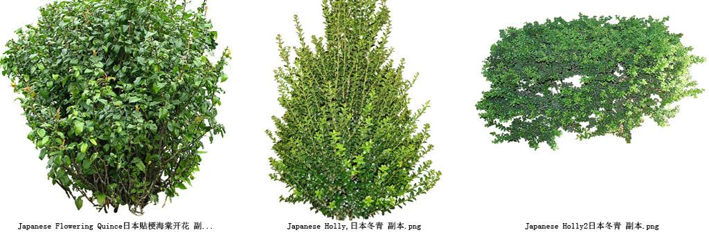 柏树植物透明背景系列高清图41