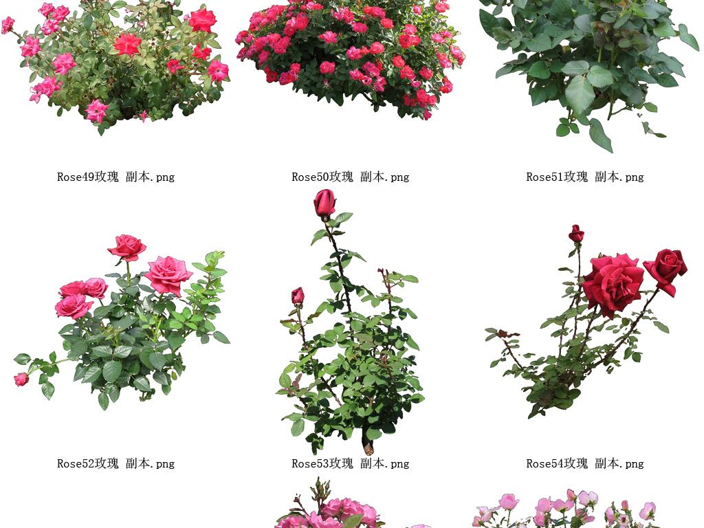 玫瑰-花草树木设计元素系列61图片