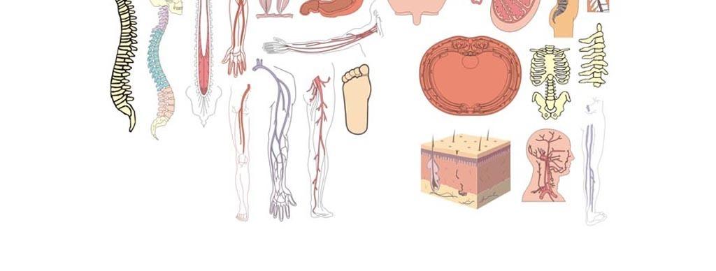 医学人体解剖矢量素材人体骨骼男科生殖器        原创医学人体解剖矢量素材人体骨骼男科生殖器