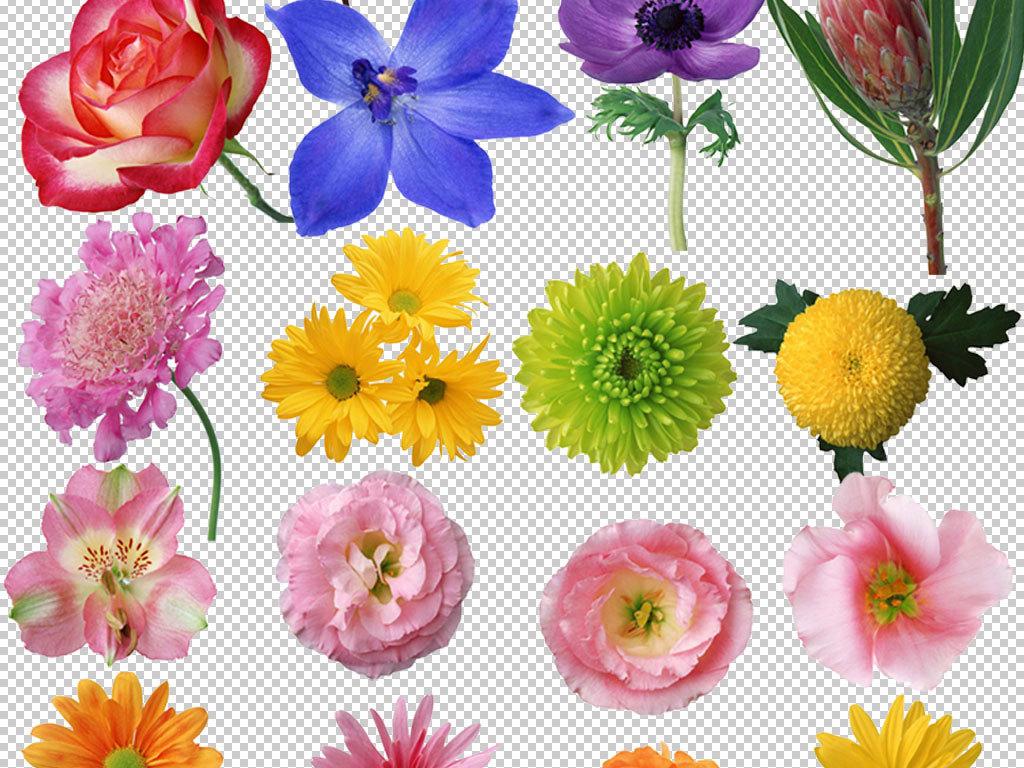 各种菊花玫瑰花花朵png素材合集