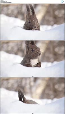 雪地里吃东西的小松鼠