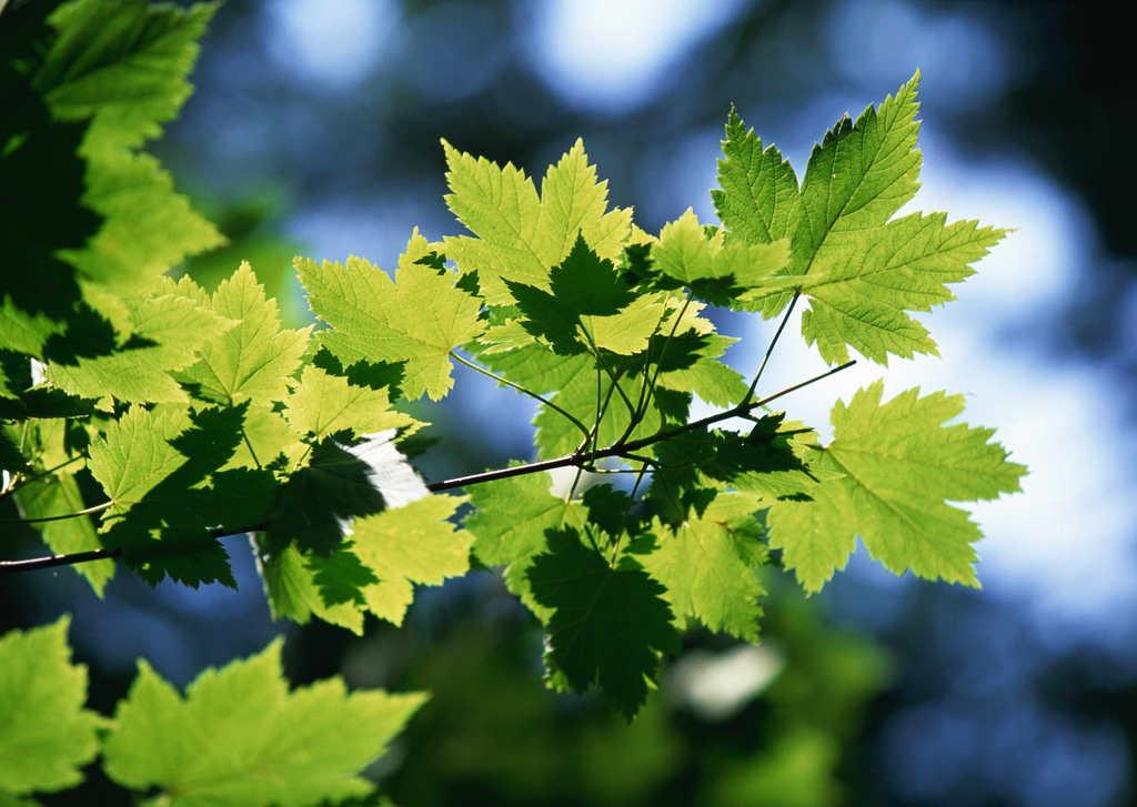 树木花草背景绿色背景叶面出芽叶子图片绿色叶子葡萄叶子叶子背景秋天