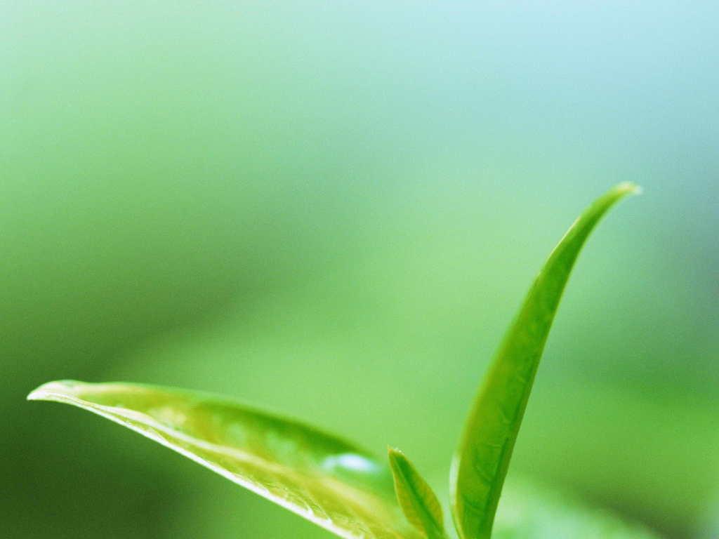 ppt 背景 壁纸 电脑桌面 发芽 绿色 绿色植物 绿叶 嫩芽 嫩叶 树叶