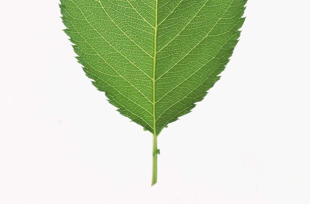 白底树叶绿叶素材植物叶子叶脉枝叶