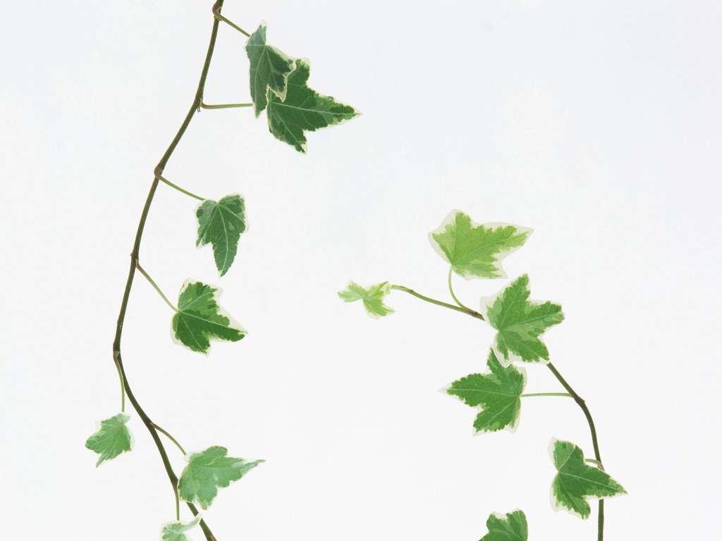 叶子白底树叶                                  绿色植物
