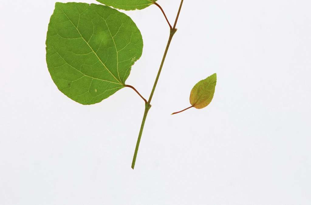 绿叶素材植物的叶子背景叶脉绿草叶芽