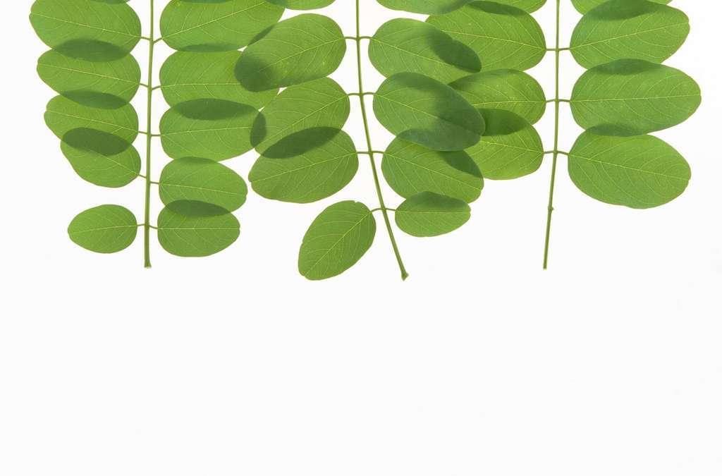 叶脉野草花草草地茶叶青叶白底树叶绿色植物清新
