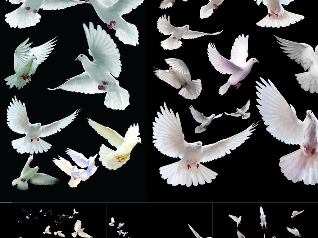 设计元素 自然素材 动物 > 鸽子psd源文件png透明素材  版权图片 分享