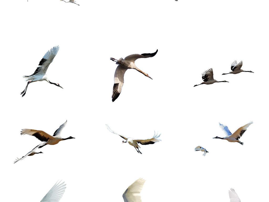 丹顶鹤等鹤类免抠png透明图片素材