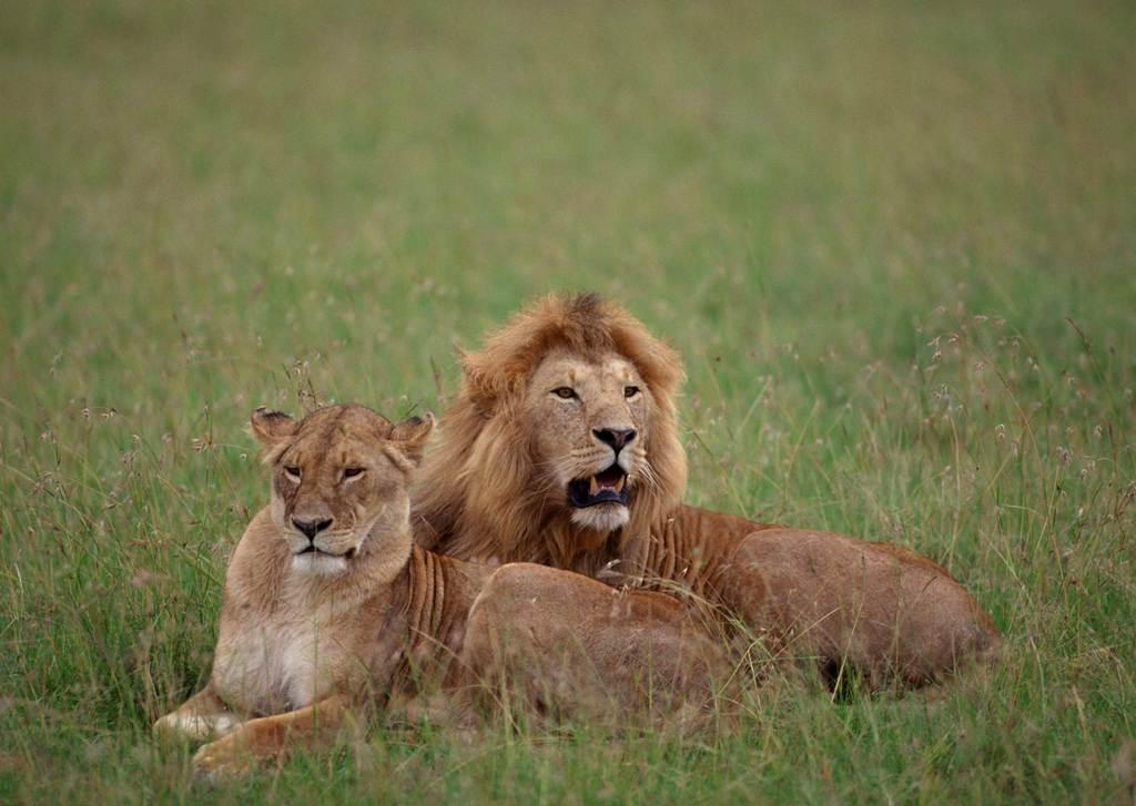 """小狮子 【本作品下载内容为:""""野生动物世界野外风景雄狮动物公园""""模板"""