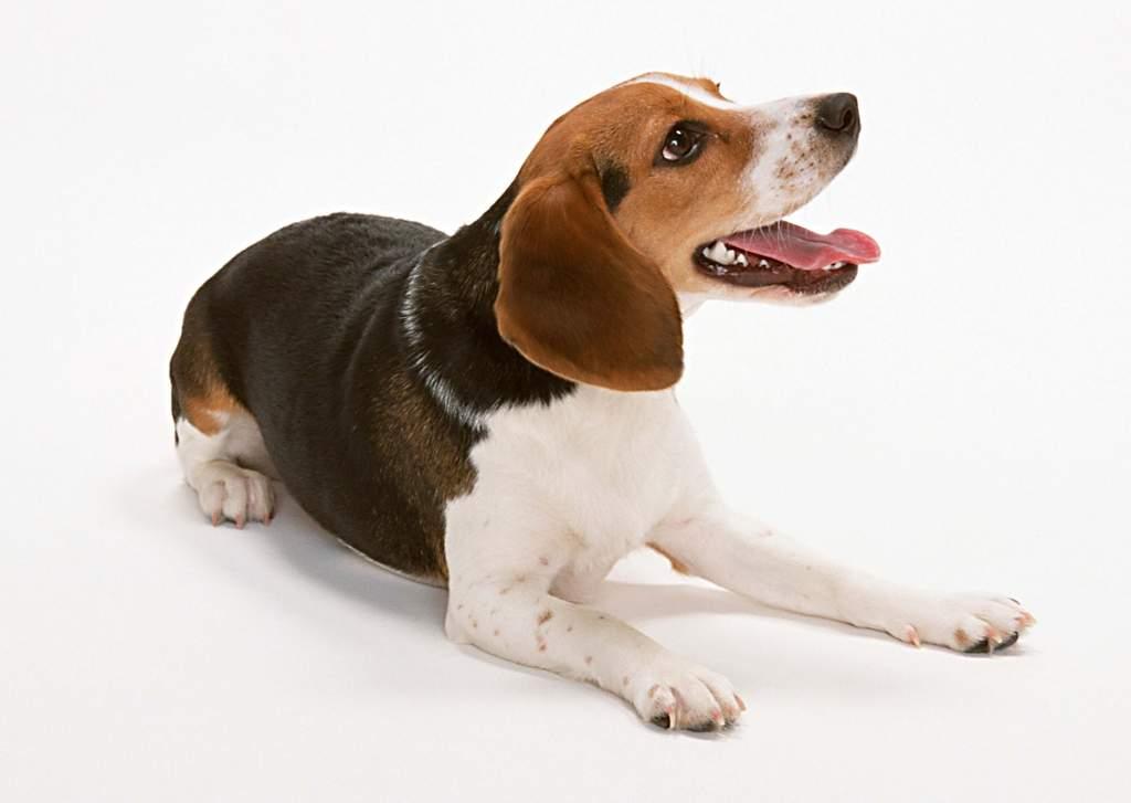 小狗动物世界西洋狗类猫狗家居宠物图片