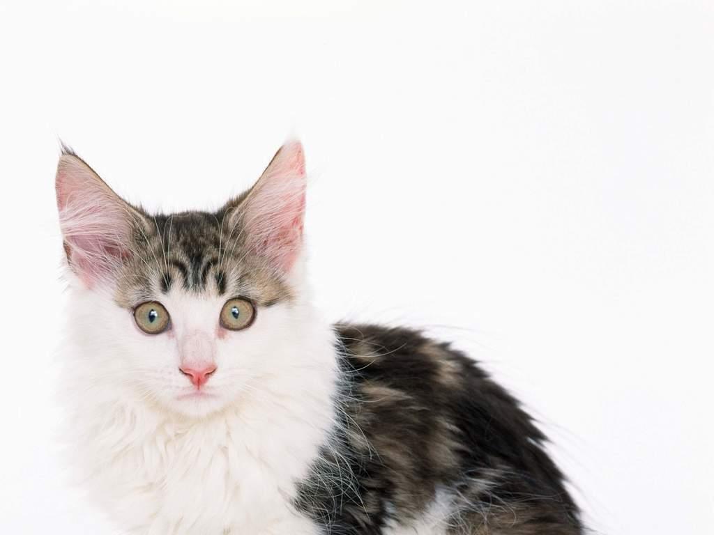 可爱小猫宠物家居动物世界猫猫动态 位图, cmyk格式高清大图,使用