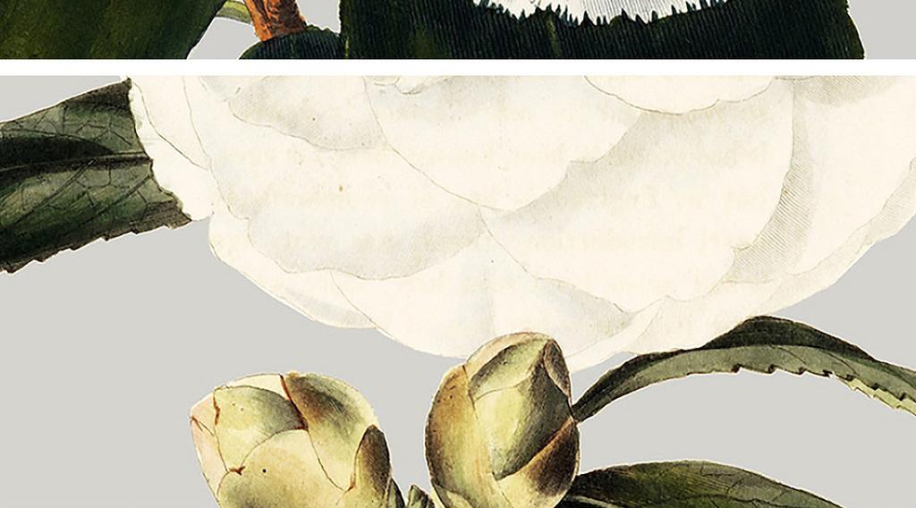 白色茶花装饰画图片