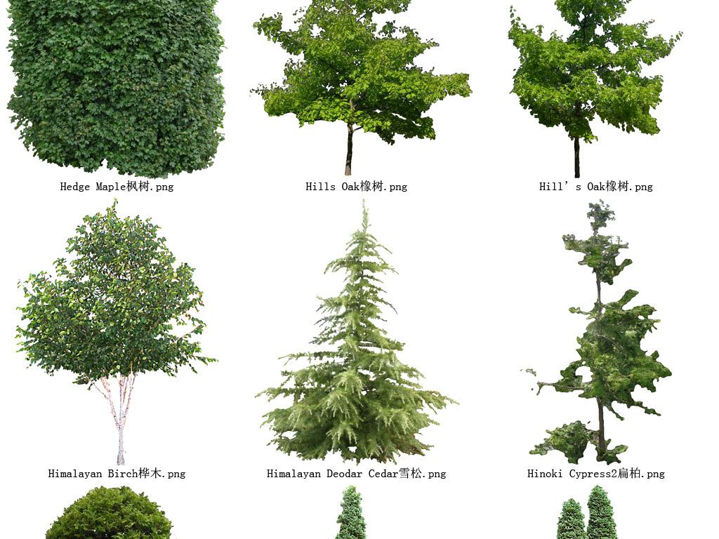 百度壁纸花草木树-梧桐树花草树木透明背景设计元素系列110