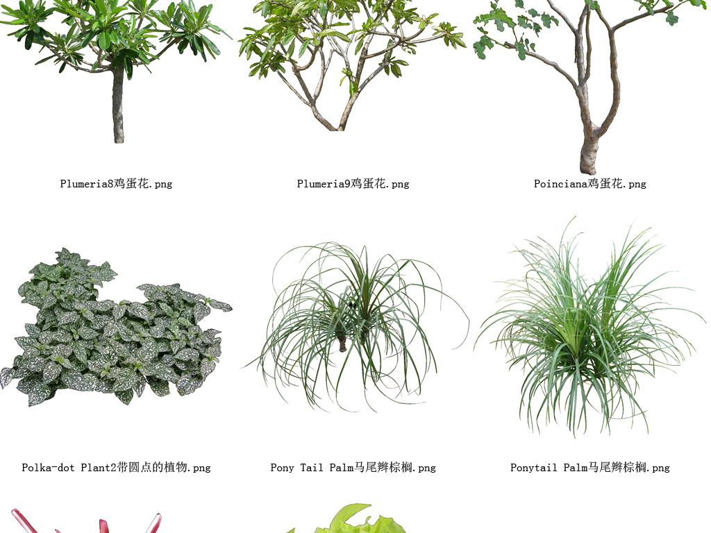百度壁纸花草木树-鸡蛋花植物花草树木透明背景元素系列159