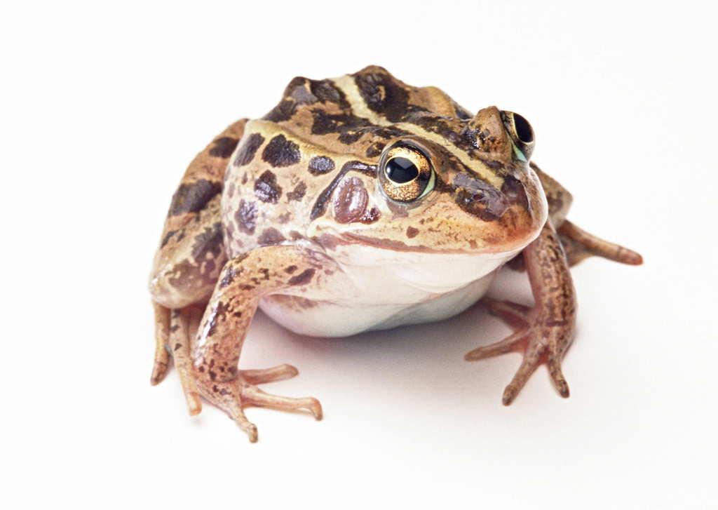 青蛙动物世界蜻蛙摄影高清动物图片