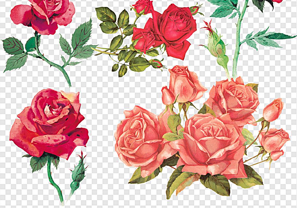 白玫瑰                                  玫瑰花茶手绘
