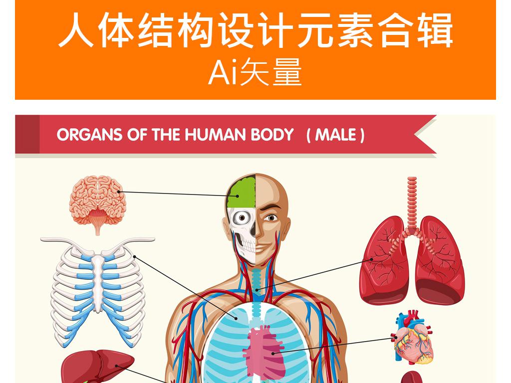 医学人体组织内脏器官解剖结构矢量示意图集