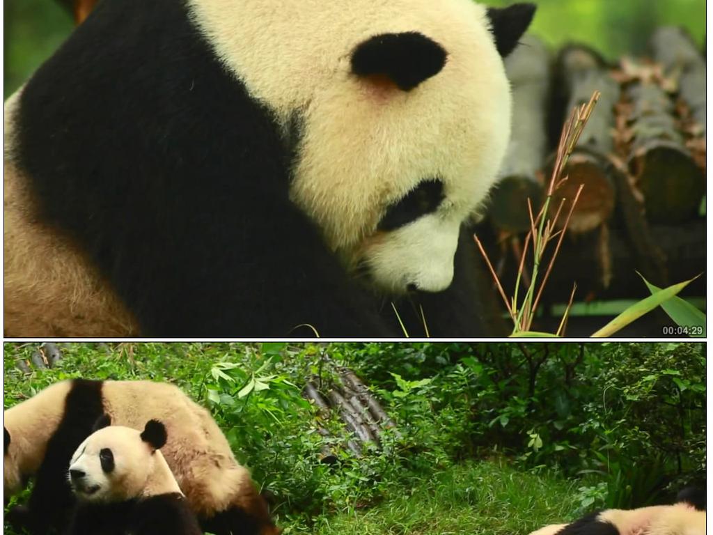 可爱大熊猫吃新鲜竹子竹叶唯美镜头