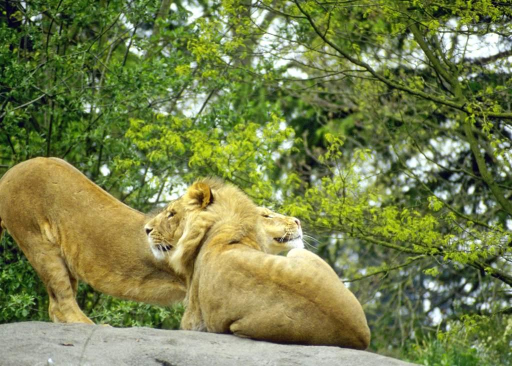 野生动物世界野外风景雄狮动物公园