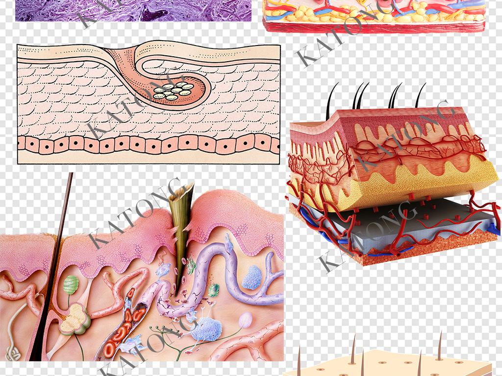 护肤品皮肤结构素材