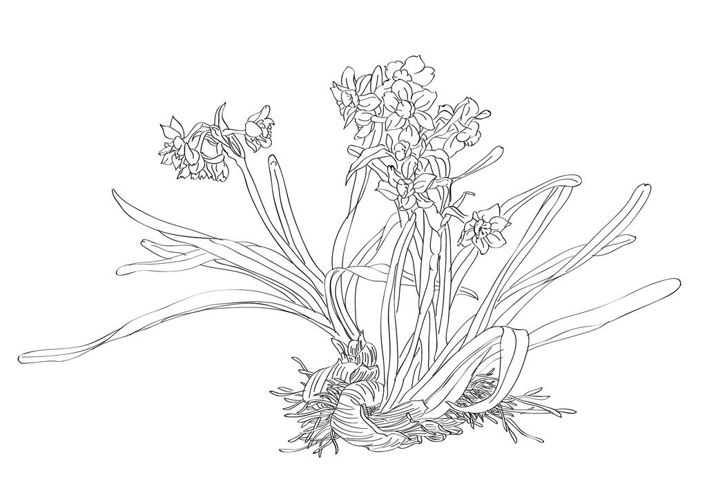 水仙花线描白描黑白画花卉线描