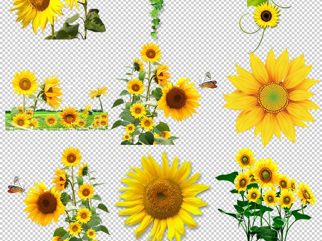 卡通向日葵                                  手绘向日葵