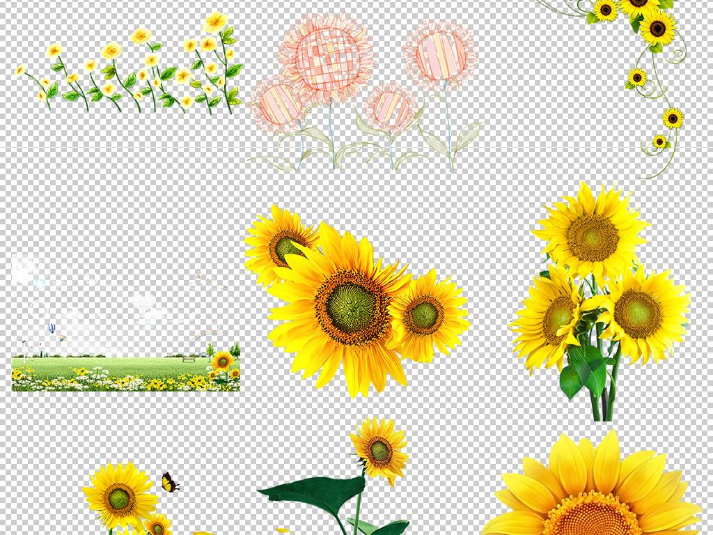 png)                                  卡通向日葵