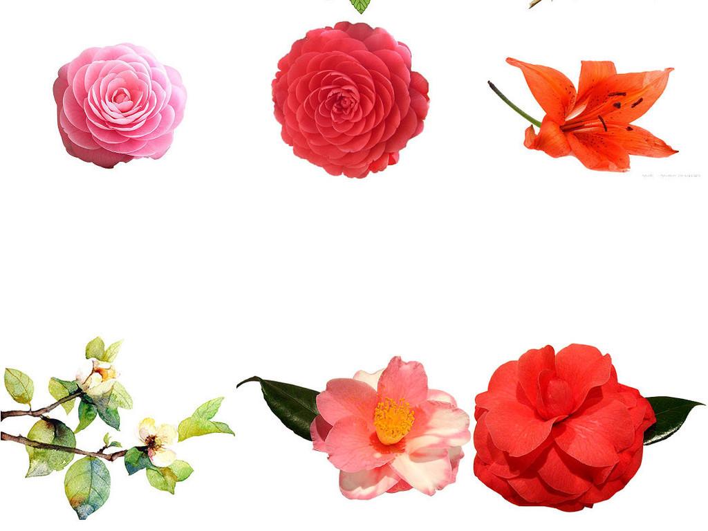 山茶花                                  设计素材植物花花植物黑白