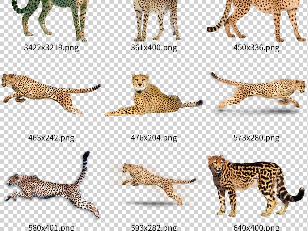 奔跑猎豹金钱豹凶猛动物素材