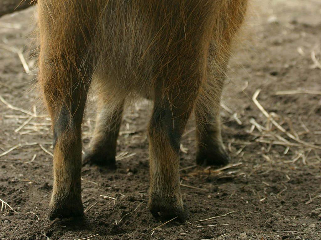 生物世界地球生物畜生动物壁纸物种珍贵珍稀动物野性哺乳动物小猪野猪