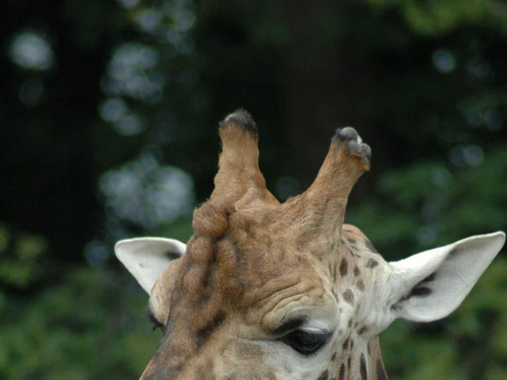 非洲动物长颈鹿头颈部
