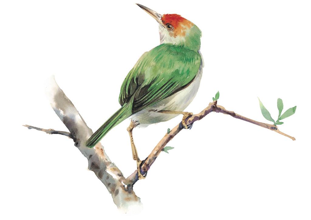 水彩手绘鸟类仙鹤鹦鹉麻雀水鸟素材57