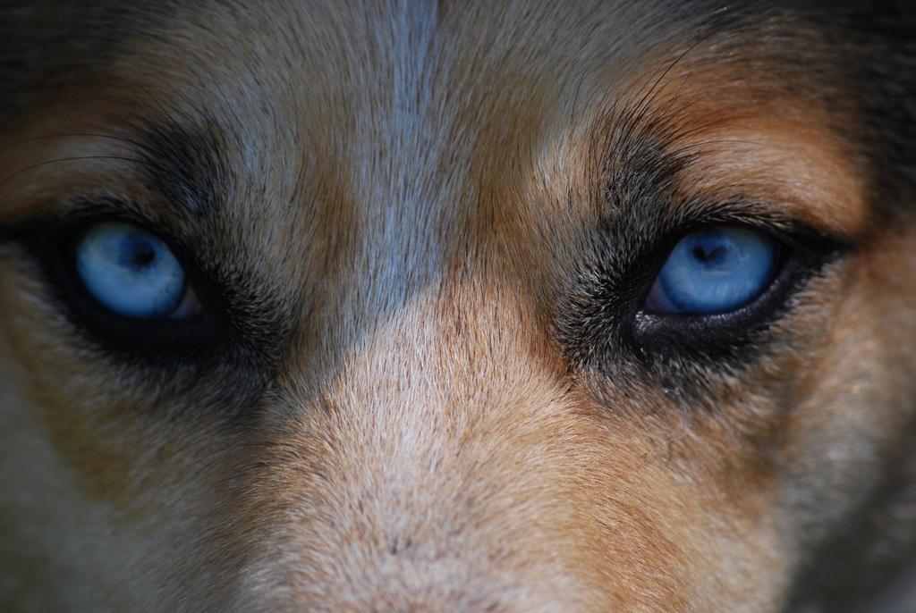 摄影图片狼眼睛高清大图(图片编号:16517810)_动物_我