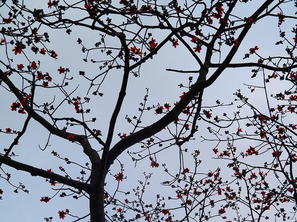 圭峰山木棉树