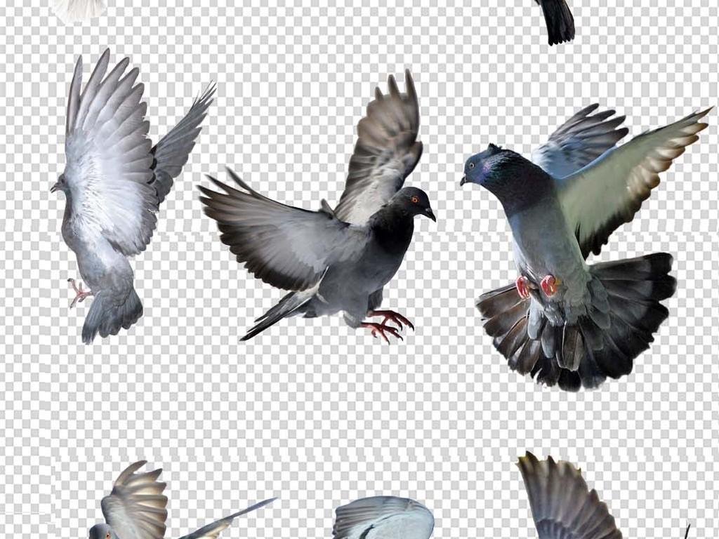 放飞鸽子png免抠图高清素材(图片编号:16604301)_动物