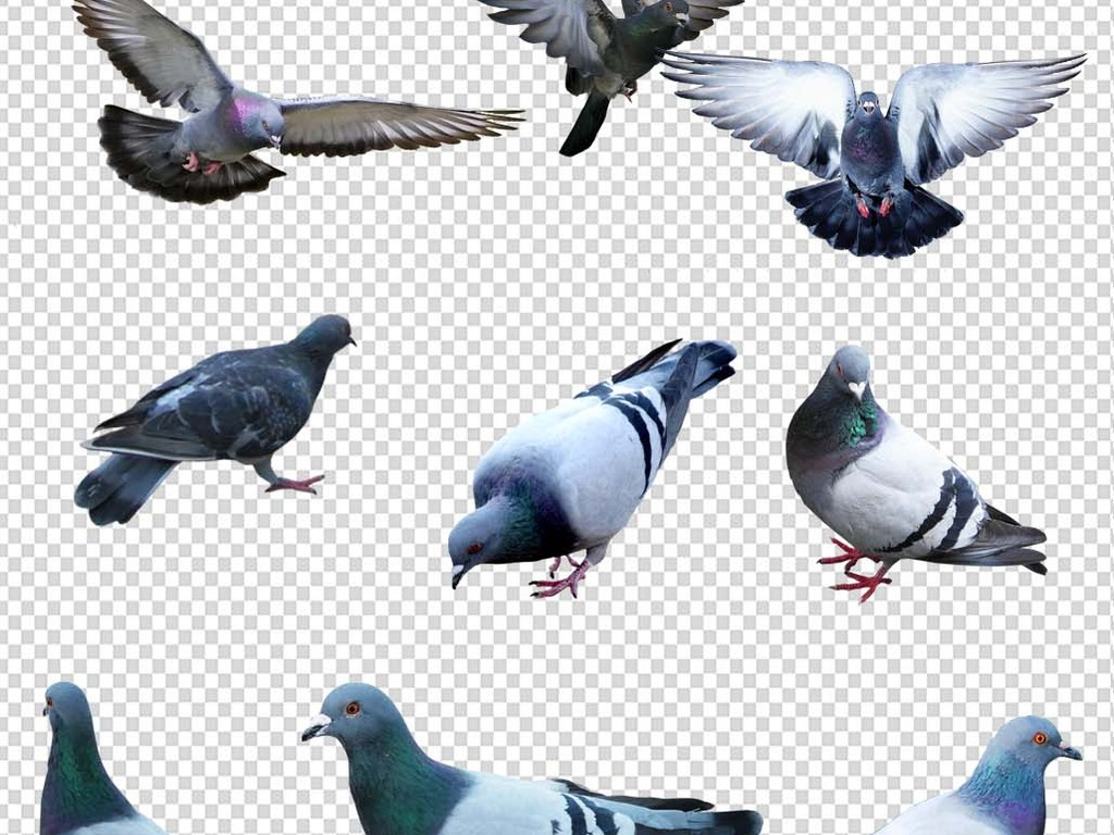 放飞鸽子png免抠图高清素材图片下载psd素材-动物-我