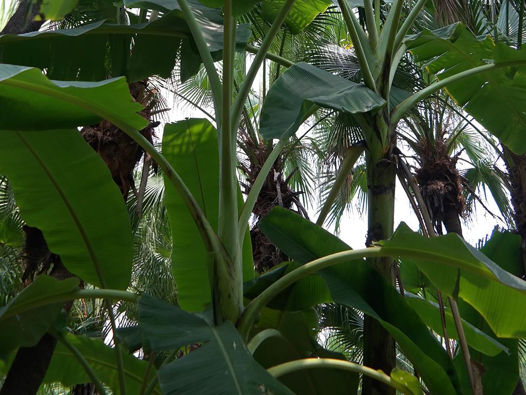芭蕉树香蕉树叶子