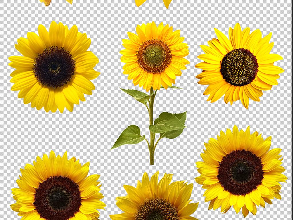 向日葵卡通图片                                  向日葵花海向日葵