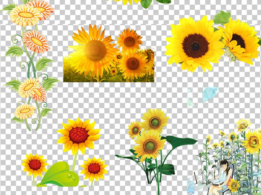 向日葵太阳花盆栽png素材鲜艳向日葵植物