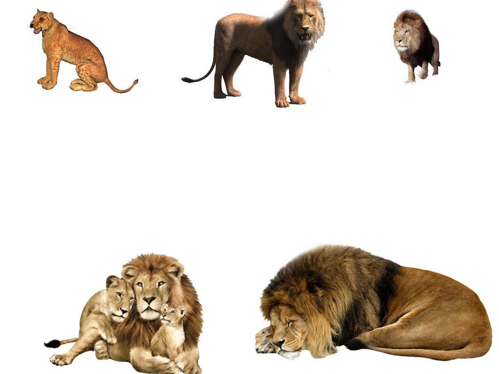 我图网提供精品流行动物狮子免抠png透明素材1下载,作品模板源文件可以编辑替换,设计作品简介: 动物狮子免抠png透明素材1 位图, RGB格式高清大图,使用软件为 Photoshop CS5(.png)