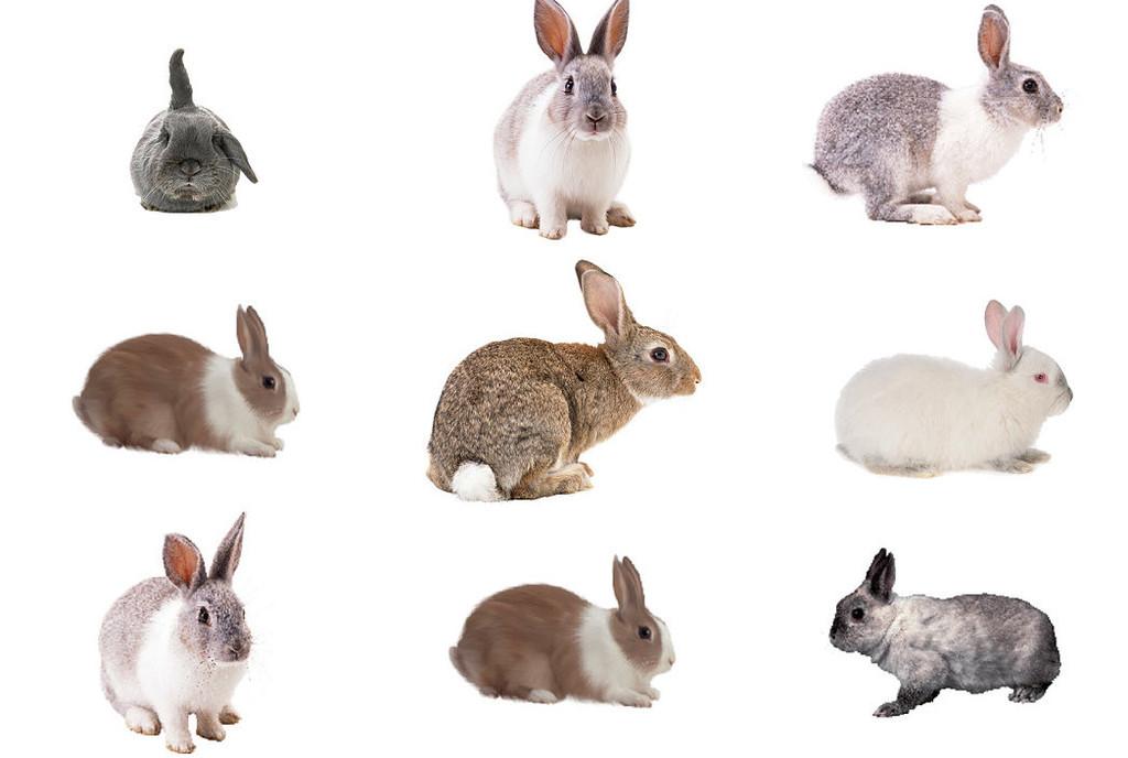 动物兔子免抠png透明背景素材1
